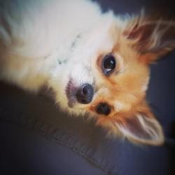 Neissie, chiot Chihuahua