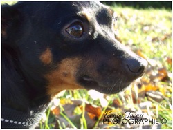 Neji, chien Pinscher