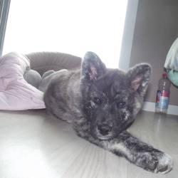 Nejma, chien Akita Inu