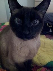 Neko, chat Siamois