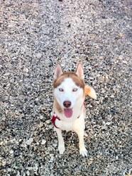 Neko, chien Husky sibérien