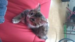 Neko, chaton Européen