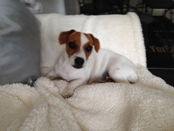 Nela, chien Jack Russell Terrier
