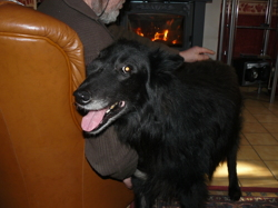 Nélig, chien Berger belge