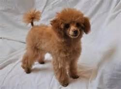 Nelly, chien Caniche