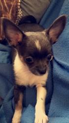 Nelsa, chiot Chihuahua