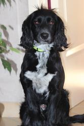 Nelson, chien Cocker anglais