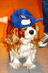 Nelson, chien Cavalier King Charles Spaniel