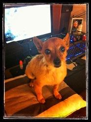 Nelson, chien Pinscher