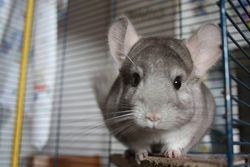 Nelson, rongeur Chinchilla