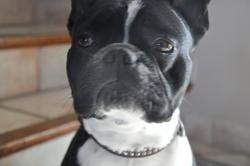 Nelson, chien Bouledogue français