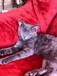 Nelson, chat Chartreux