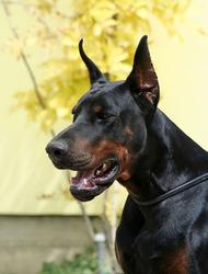 Nelson, chien Dobermann