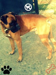 Nelson, chien Boxer