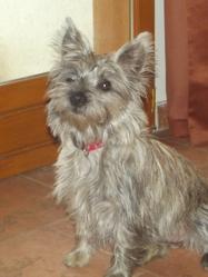 Nelya, chien Cairn Terrier