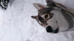 Nemeria, chien Husky sibérien