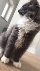 Nemesis, chaton Norvégien