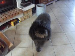 Némo , chien Caniche
