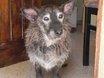Némo, chien Cairn Terrier