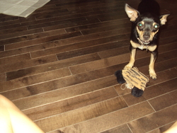Némo, chien Chihuahua