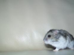 Nenette, rongeur Hamster
