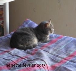 Nènette, chat Européen