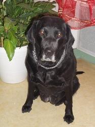 Nenette, chien Labrador Retriever
