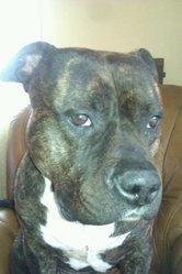Neo, chien American Staffordshire Terrier