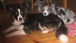 Néo, chien Border Collie