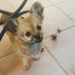 Neo, chiot Chihuahua