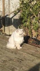 Néo, chaton Angora turc