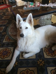 Nephite, chien Berger blanc suisse
