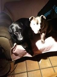 Neptune, chien Staffordshire Bull Terrier
