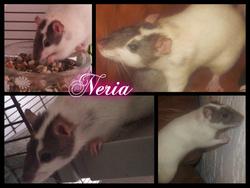 Neria, rongeur Rat