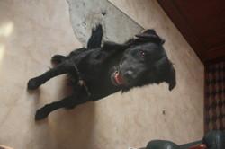 Néro, chien Golden Retriever