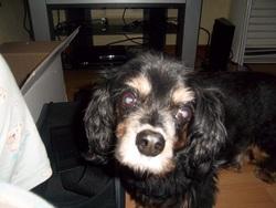 Néro, chien Cavalier King Charles Spaniel