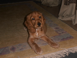 Nero , chien Cocker anglais