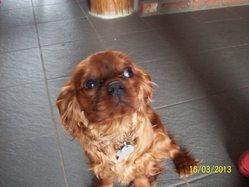 Nesquick, chien Cavalier King Charles Spaniel