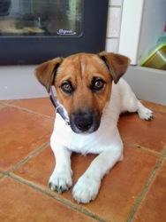 Nesquick, chien Jack Russell Terrier