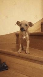 Nesquick, chien Pinscher