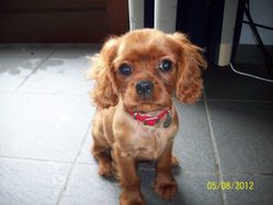 Nesquik, chien Cavalier King Charles Spaniel