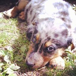 Nesquik, chien Berger australien