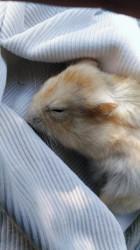Nesquik Rip, rongeur Hamster