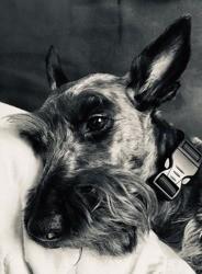 Nessie, chien Scottish Terrier