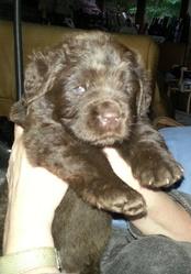 Nessie , chien Terre-Neuve