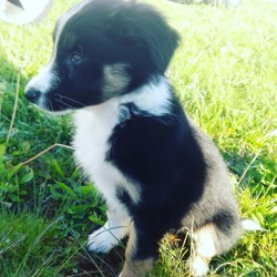 Nessie, chiot Border Collie