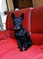 Nessy, chien Lakeland Terrier