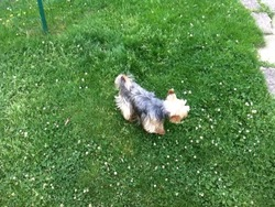 Nessy, chien Yorkshire Terrier