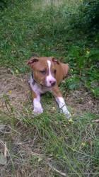 Nesta, chien American Staffordshire Terrier