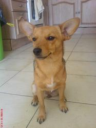Nesta, chien Pinscher